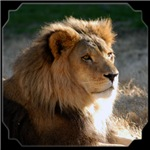 African Lion Small Frame