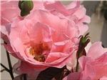 Pink Full Rose