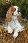 Cavalier King Charles