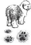 Old English Sheepdog, footprint