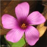 Violet Wildflower (Wood Sorrel)