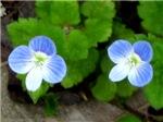 Blue Twins (Speedwell)