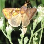 Rapid Flying Moth, Argyrogramma verruca
