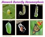 Monarch Butterfly Metamorphosis Education