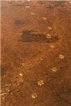 Wolf Tracks on Geyser Basin