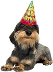 Wirehaired Dachshund Birthday Party