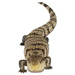 Blue Tongue Skink Photo T-Shirts