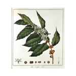 Coffee Botanical Print T-Shirts