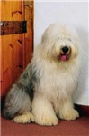 Old English Sheepdog Photo