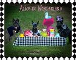 Alice in Wonderland Scottie Gifts