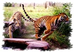 Asian Running Tigers Wild Animal T-shirts & Gifts