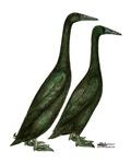 Black Runner Ducks