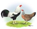 Silver Kraienkoppe Chickens