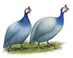 Guineas Slate Pair