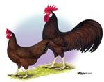Red Leghorn Chickens