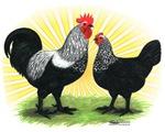 Iowa Blue Chickens