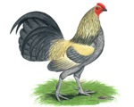 Blue Brassy Back Cock