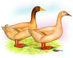 American Buff Ducks