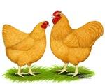 Buff Wyandotte Chickens