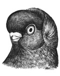 Hollander Shortface Pigeon