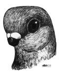 Stettiner Shortface Pigeon