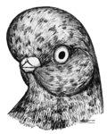 English Shortface Pigeon