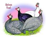 Guinea Fowl Quartet