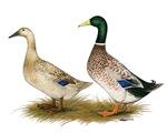 Ducks:  Silver Welsh Harlequin