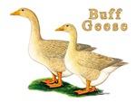 Buff Geese #5