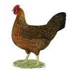 Welsummer Hen
