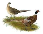 Ringneck Pheasant Pair