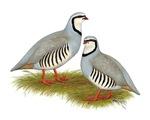 Chukar Partridge Pair
