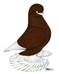 Tumbler Pigeon Bearded