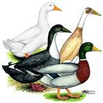 Duck Quartet
