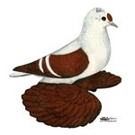 Red Wing Pigeon
