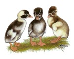 Runner Ducklings Penciled