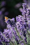 Lavender Butterfly O