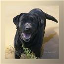 Black Labrador Smiles