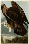 Golden Eagle with Rabbit