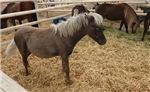 Minature Horse