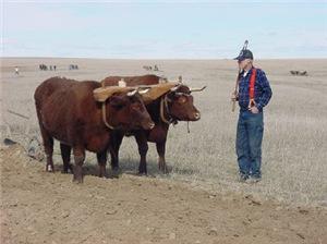 Draft Oxen