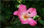4036 Pink Rose