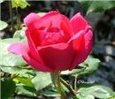 0306 Red Rose