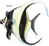 Moorish Idol Tropical Fish