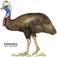 Cassowary Australian Bird