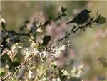 Springtime Silvereye