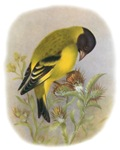 Black-headed Sisken