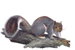 Gray Squirrel T-Shirts
