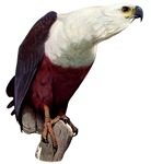 African Fish Eagle T-Shirts