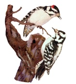 Downy Woodpecker T-Shirts
